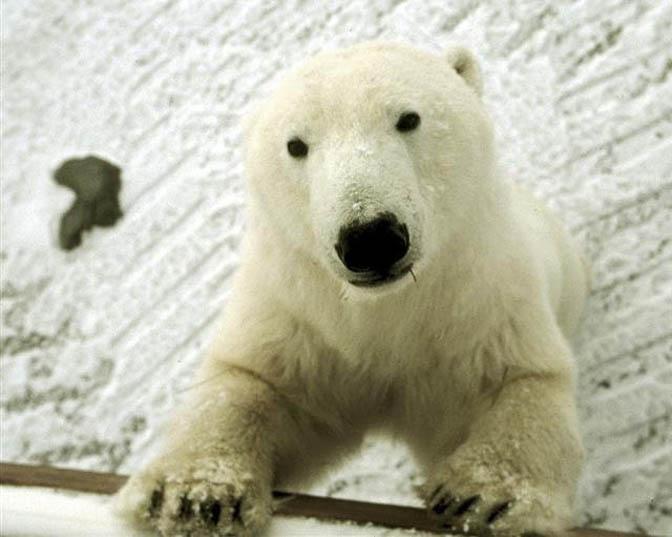 Polar Bears Wait for Winter Migration